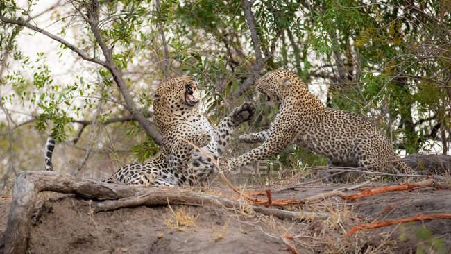 Leopardenmännchen und Leopardenweibchen kämpfen und benutzen Pfoten und entblößte Zähne. — Stockfoto