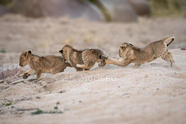 Три левові малята бавляться і женуться один за одним у піску в Африці. — стокове фото