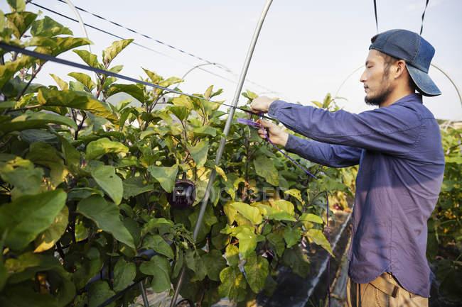 Japanese man wearing cap standing in vegetable field, adjusting strings around plants. — Stock Photo