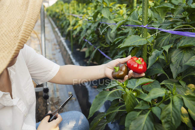 Japanese woman wearing hat standing in vegetable field, picking fresh peppers. — Stock Photo