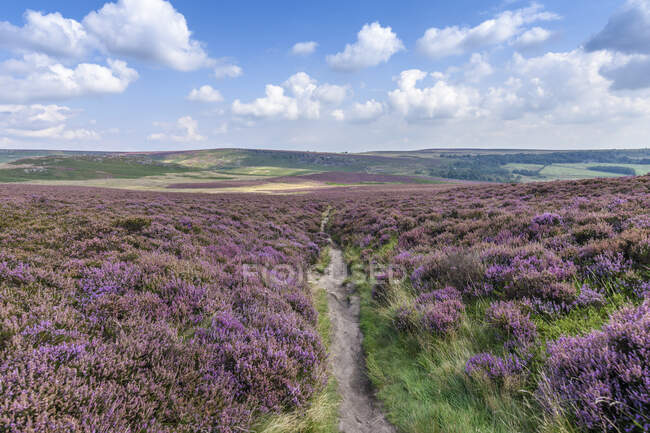 Footpath through fields of heather in the Peak District National Park. Moorland and view of the surrounding hills and landscape. — Stock Photo