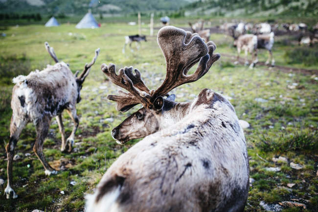 Domestizierte Rentiere, die in der Nähe einer kleinen ländlichen Siedlung grasen. — Stockfoto