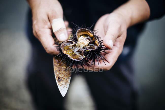 Высокоугольный крупный план рыбака, вскрывающего кусок свежего морского ежа . — стоковое фото