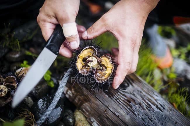 Alto ângulo close-up de pescador cortando abrir um pedaço de ouriço do mar uni fresco . — Fotografia de Stock