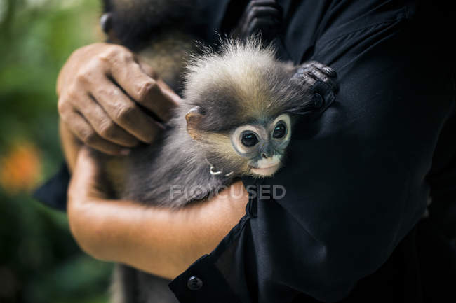 Gros plan d'une femme tenant deux jeunes singes Macaques . — Photo de stock