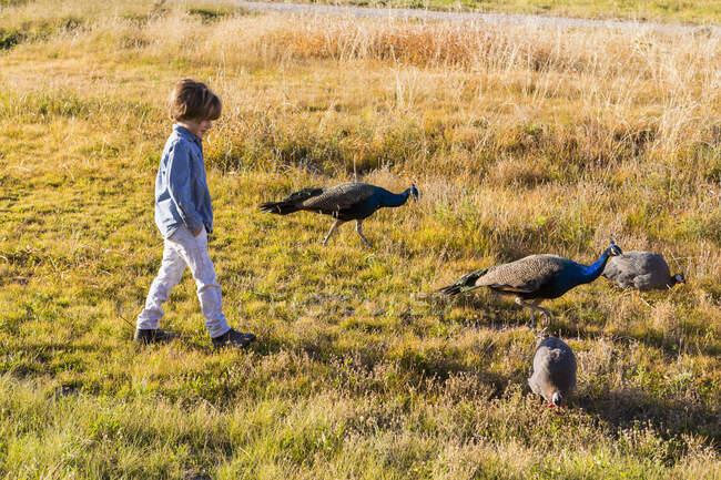 Niño de 6 años caminando con pavos en un campo al amanecer. - foto de stock
