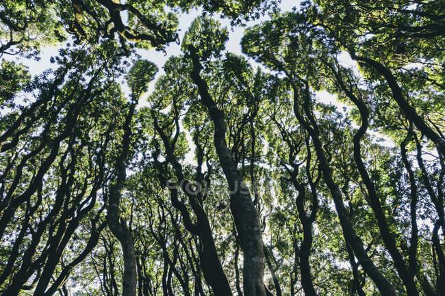 Низкоугольный вид на рощу прибрежных живых дубов, сосен и мадронов — стоковое фото