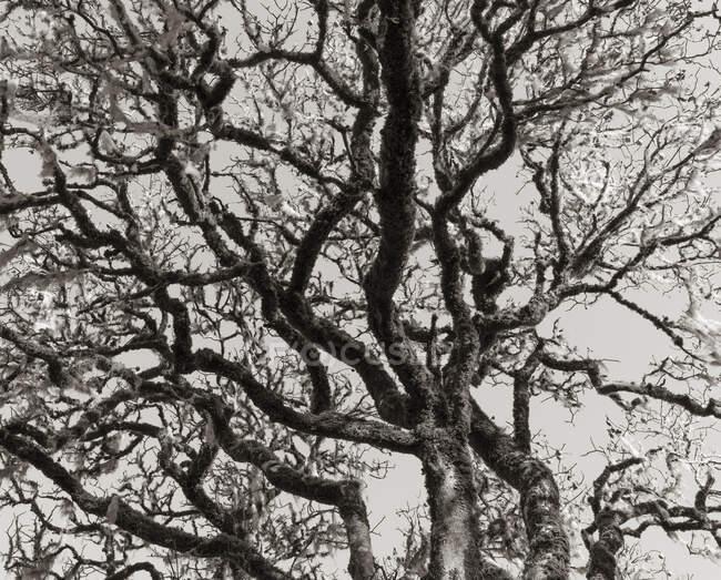 Каліфорнія живе дубом (Quercus agrifolia) — стокове фото