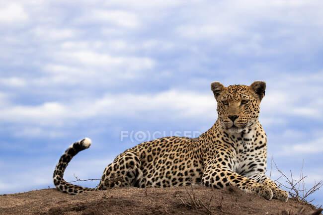 Leopardo, Panthera pardus, deitado no topo de um monte de térmitas, fundo do céu, olhando para fora do quadro — Fotografia de Stock