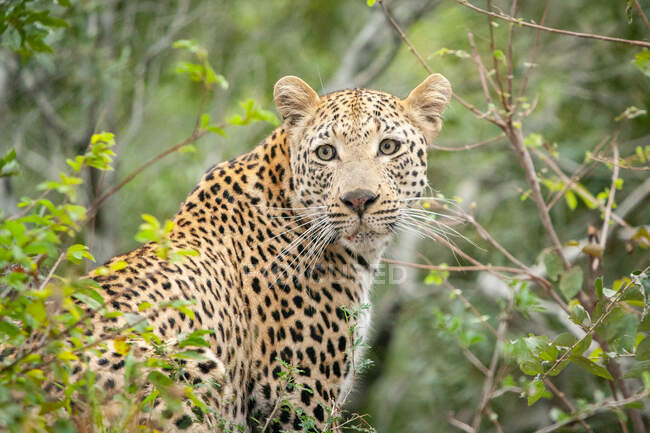 Leopard, Panthera pardus, looking over shoulder, surrounded by greenery, looking out of frame - foto de stock