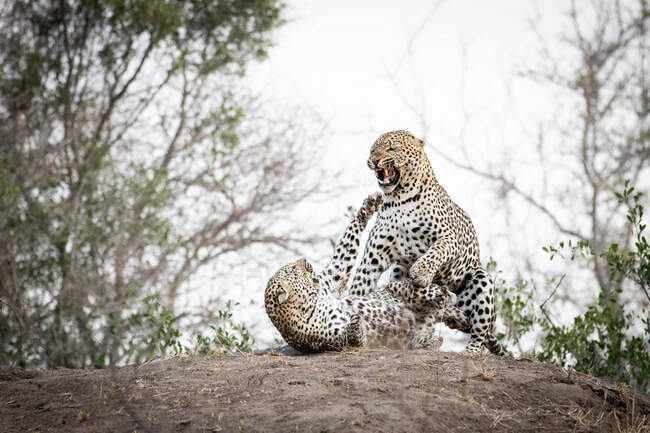 Mating pair of leopards, Panthera padrus, snarling at each other — Stock Photo