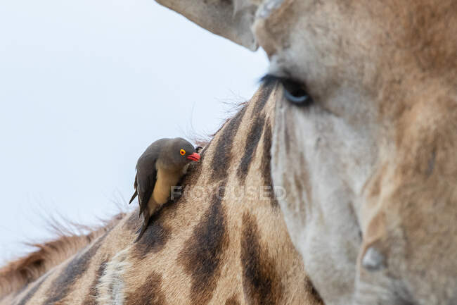Red-billed oxpecker, Buphagus erythrorhynchus, sitting on the neck of a giraffe, Giraffa camelopardalis - foto de stock