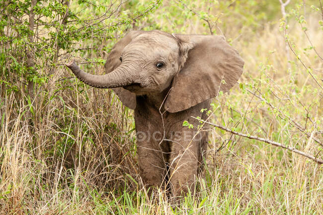 Adorable elephant calf, Loxodonta africana, lifting its trunk while standing in greenery — Stock Photo