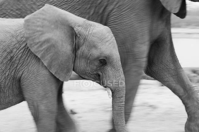 Young elephant, Loxodonta africana, walking side by side with another elephant, black and white image — Stock Photo