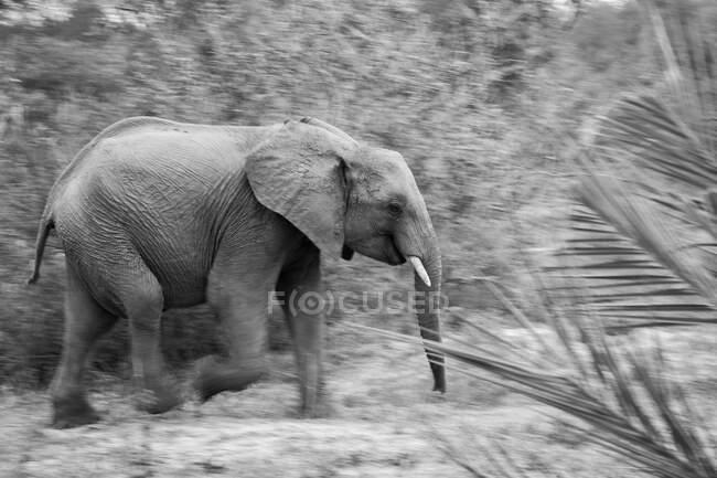 Слон, Loxodonta africana, ходьба, движение размытие, черно-белое изображение — стоковое фото