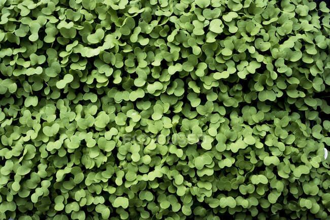 Высокий угол вблизи свежего зеленого садового кресса . — стоковое фото