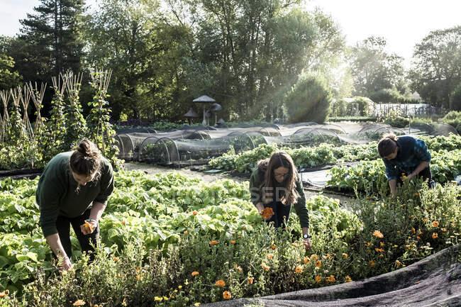 Trois jardiniers travaillant dans un potager, cueillant des fleurs comestibles. — Photo de stock