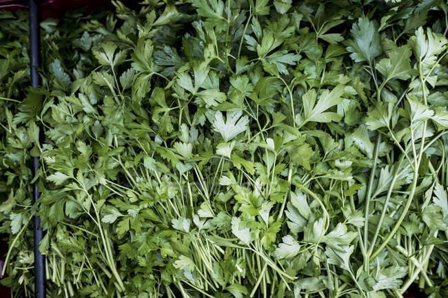 High angle close up of fresh Italian parsley. — Stock Photo