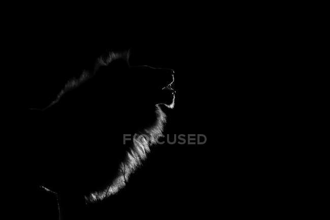 The side profile of a male lion, Panthera leo, lit up by spotlight at night, mouth open — Stock Photo