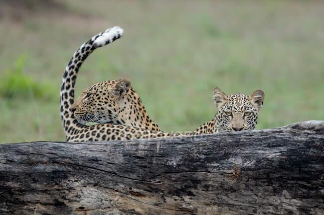Мати леопарда, Пантера Пардус, і його дитинча стоїть за колодою, хвіст вгору, прямий погляд. — стокове фото