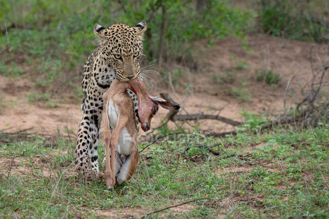 Leopard, Panthera pardus, carrying its kill in its mouth, Aepyceros melampus — Stock Photo