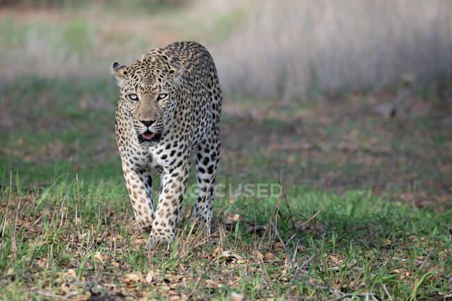 Мужчина леопард, Panthera pardus, идет к камере, прямой взгляд, рот открыт — стоковое фото