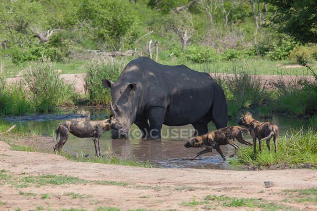 Rinoceronte bianco, Ceratotherium simum, in piedi in un buco d'acqua mentre cani selvatici, Lycaon pictus — Foto stock