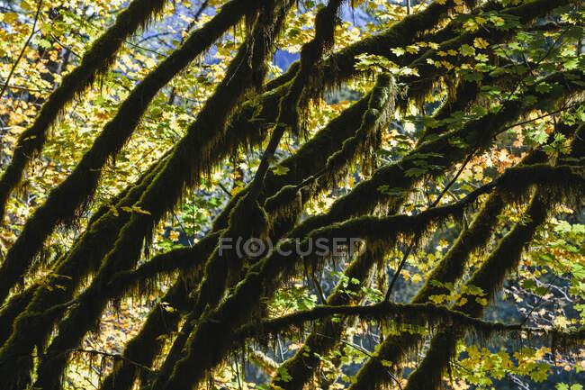 Luz del sol de manzana brillando a través de árboles de arce vid y follaje de otoño, a lo largo del río Snoqualmie North Fork, Washington - foto de stock