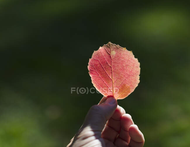 Hand holding bright red leaf in autumn — Stock Photo