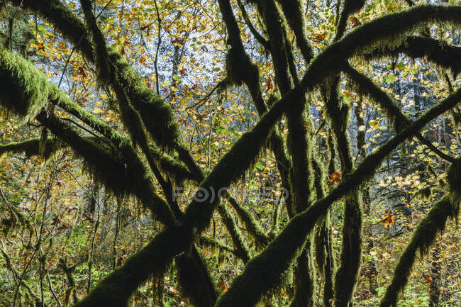 Moss covered Vine maple tree and lush temperate rainforest in autumn — Stock Photo