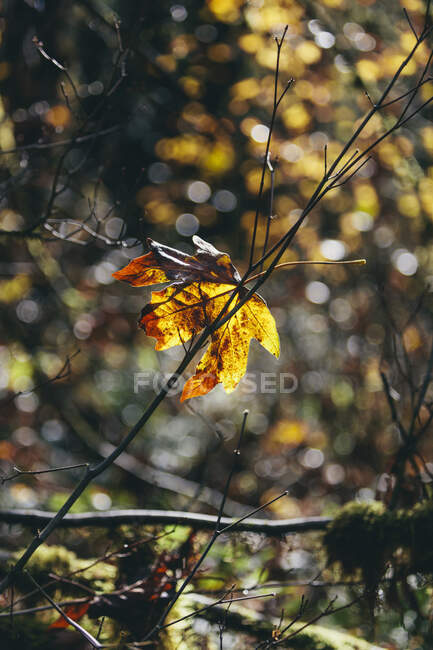 Bigleaf maple leaf (Acer macrophyllum) in autumn, in small tree branch — Stock Photo