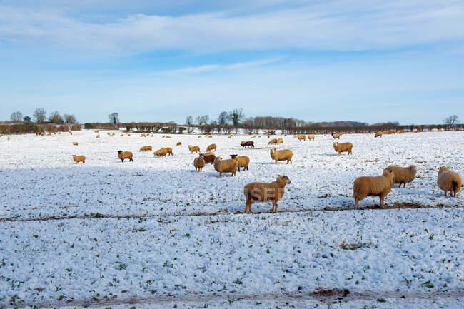 Schafherde im Freien auf einem Feld im Schnee. — Stockfoto