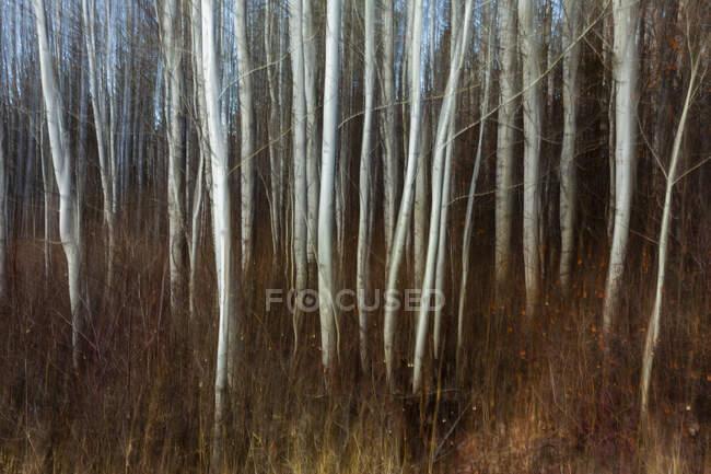 Verschwommener Espenhain und Wiese in der Nähe von Leavenworth, Washington — Stockfoto