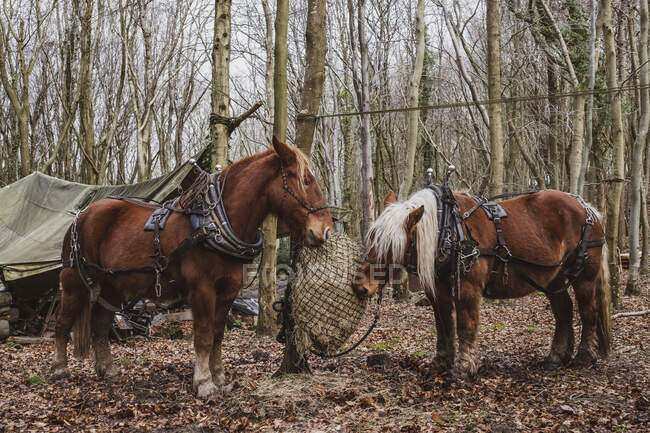 Two brown work horses standing in a forest, eating hay. — Stock Photo
