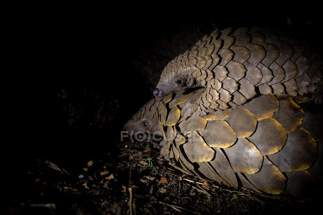 A pangolin, Smutsia temminckii, lying the ground while her pup lying on her back, blacked out background — Stock Photo
