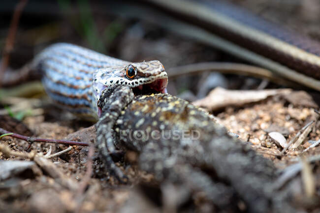 Western strip-bellied sand snake, Psammophis subtaeniatus, swallowing a tree agama lizard, Acanthocercus atricollis — Stock Photo