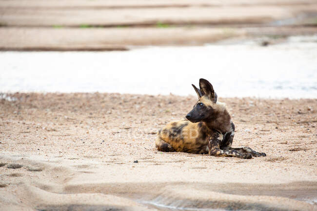 Chien sauvage, Lycaon pictus, couché sur le sable de la rive de la rivière, regardant hors cadre au-dessus de l'épaule, oreilles perchées — Photo de stock