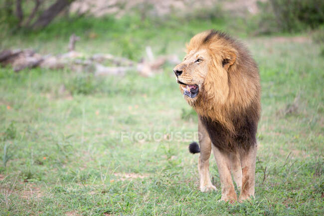 Lion mâle, Panthera leo dans l'herbe, bouche ouverte — Photo de stock