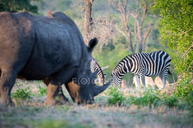 Un rhinocéros blanc, Ceratotherium simum, broutant au premier plan, un troupeau de zèbres en arrière-plan, Equus quagga — Photo de stock