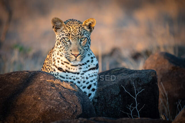 Un leopardo, Panthera pardus, orejas hacia adelante - foto de stock