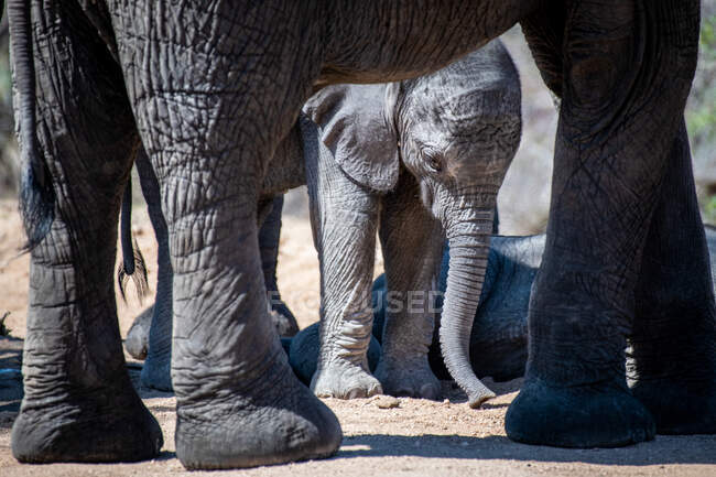 An elephant calf, Loxodonta africana, framed by the legs of its mother, looking down — Stock Photo