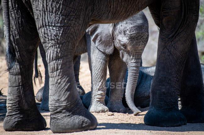Un vitello elefante, Loxodonta africana, incorniciato dalle zampe della madre, guarda in basso — Foto stock