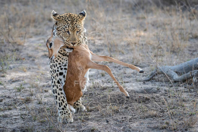 A leopard, Panthera pardus, walking towards the camera, holding an impala calf carcass in its mouth, Aepyceros melampus — Stock Photo