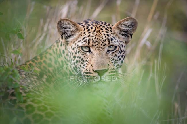 Léopard, Panthera pardus, couché dans l'herbe, regard direct, oreilles levées, verdure au premier plan — Photo de stock