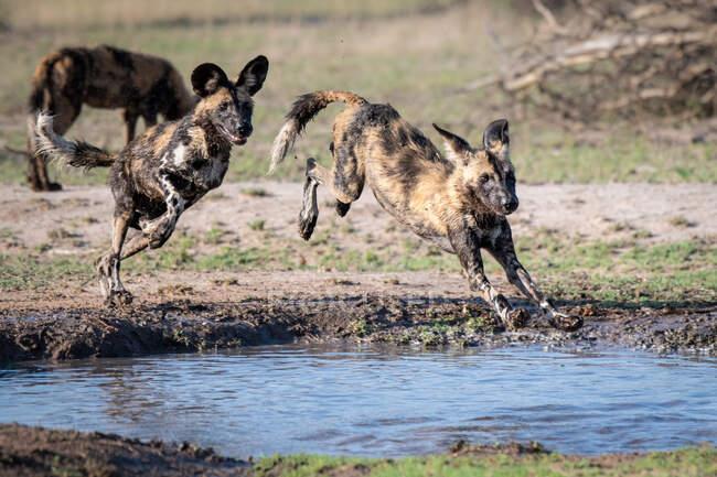 Deux chiens sauvages, Lycaon pictus, se succèdent et sautent par-dessus et dans une casserole, jambes boueuses — Photo de stock