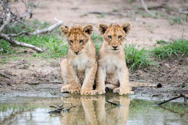 Два леопарда, Panthera leo, сидять разом на краю водної діри, відбиваючи світло у воді. — стокове фото