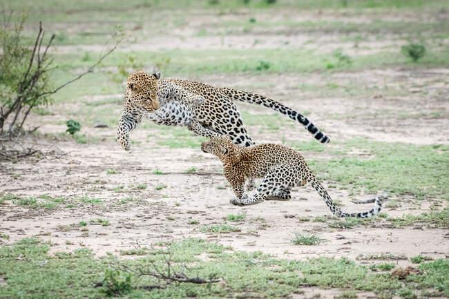 Мати Леопард, Пантера Пардус, стрибає і бавиться зі своїм малюком, стрибаючи в повітря. — стокове фото