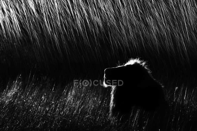 Perfil secundario de un león macho, Panthera leo, acostado en hierba alta, mirando hacia arriba, por la noche, iluminado por el foco, en blanco y negro. - foto de stock