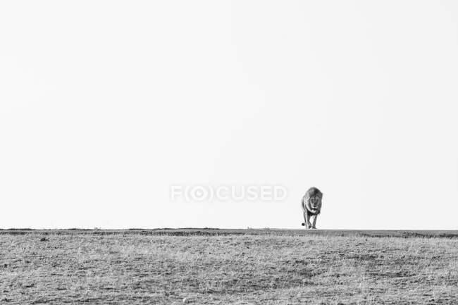 Un león macho, Panthera leo, caminando por un claro hacia la cámara, en blanco y negro - foto de stock