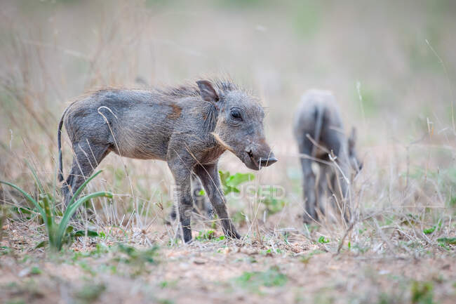 Warthog piglets, Phacochoerus africanus, standing in short grass, ears back — Stock Photo